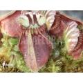 Cephalotus follicularis 'L'