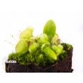 Cephalotus follicularis' 'plug'