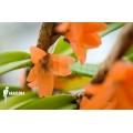 Orchidée 'Ceratostylis retisquama' starter