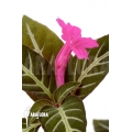 Chamaeranthemum sp Pink