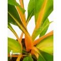 Chlorophytum amaniense
