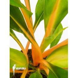 Chlorophytum amaniense 'Fireflash'