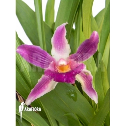 Cochleanthes COC05 flower