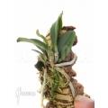 Orchidée 'Cochleanthes violacea'