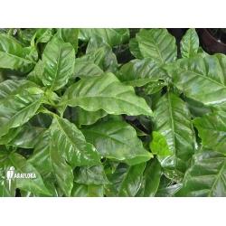 Coffea arabica (coffee plant)