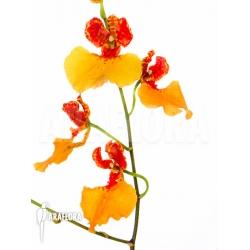 Comparettia speciosa x Oncidium zappii