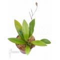 Orchidée 'Condylago rodrigoi'