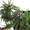 Bromélia 'Cryptanthus microglaziovii' starter