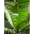 Cycas diospinosum