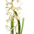 Orchidée 'Cymbidium sinense 'Lan Kiem''