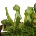 Darlingtonia californica 'M'
