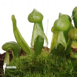 Darlingtonia californica 'M'