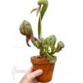 Darlingtonia californica 'L'