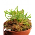 Darlingtonia californica 'Starter' Type B