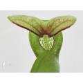 Darlingtonia californica 'XL'