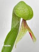 Darlingtonia (Plante cobra)