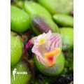 Orchidée 'Dendrobium lichenastrum' 'A'