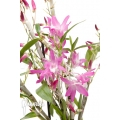 Orchidée 'Dendrobium Rainbow Dance (Karenai X unicum)'