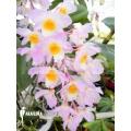 Orchidée 'Dendrobium amabile'
