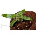 Orchidée 'Dendrobium anosmum'
