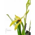 Orchidée 'Dendrobium carunculatum'