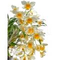 Orchidée 'Dendrobium griffithianum x farmeri'