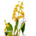 Orchidée 'Dendrobium lindleyi 'Aggregatum''