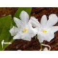 Orchidée 'Dendrobium mutabile'
