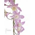 Orchidée 'Dendrobium pierardii x loddigesii'