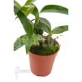 Orchidée 'Dendrobium rhodostictum'