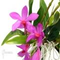Orchidée 'Dendrobium sulawesiense'