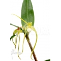 Orchidée 'Dendrobium tetragonum var. Gigantum x tetragonum var. Alba'
