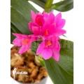 Orchidée 'Dendrobium x Hibiki'