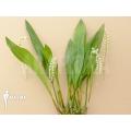 Orchidée 'Dendrochilum cobbianum'