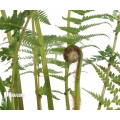 Antarctique fougère arborescente 'Dicksonia antarctica' (S)