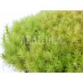 Dicranum mousse species