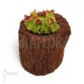 L'attrape-mouche de vénus 'Dionaea muscipula'