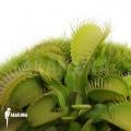 L'attrape-mouche de vénus 'Dionaea muscipula 'All green'
