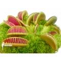 L'attrape-mouche de vénus 'Dionaea muscipula 'Arasmile''