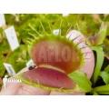 L'attrape-mouche de vénus 'Dionaea muscipula 'B-52'
