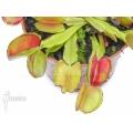 L'attrape-mouche de vénus 'Dionaea muscipula 'Bale out''