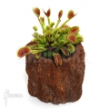 L'attrape-mouche de vénus 'Dionaea muscipula 'Beauty star'