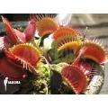 L'attrape-mouche de vénus 'Dionaea muscipula 'Big mouth'