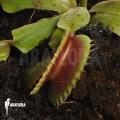L'attrape-mouche de vénus 'Dionaea muscipula 'Bitter moon'