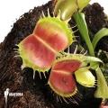 L'attrape-mouche de vénus 'Dionaea muscipula 'Bloody square'