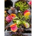L'attrape-mouche de vénus Dionaea muscipula 'Bloody square' 'Starter'