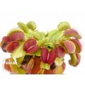 L'attrape-mouche de vénus 'Dionaea muscipula 'Booby trap'