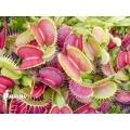 L'attrape-mouche de vénus 'Dionaea muscipula 'CCC''