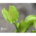 L'attrape-mouche de vénus 'Dionaea muscipula 'Chacho'