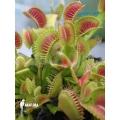 L'attrape-mouche de vénus 'Dionaea muscipula 'Clone bcp'
